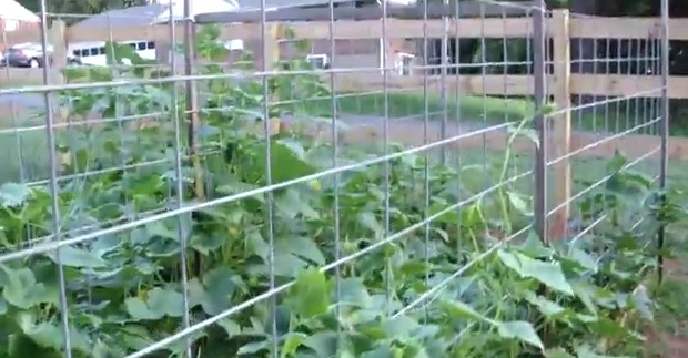 Cucumbers Trellis With Cattle Panels