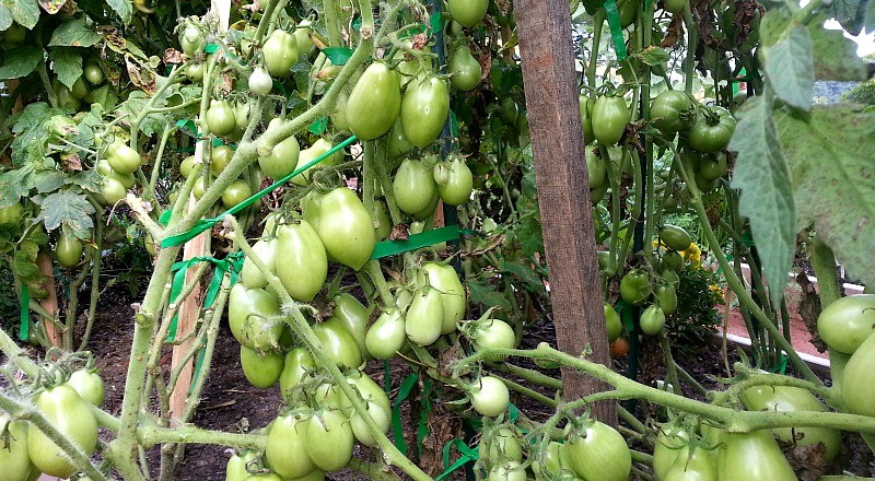 Holy Roma Tomatoes